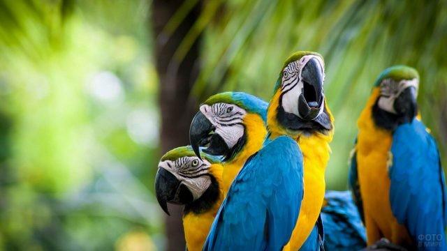 Четыре жёлто-синих попугая ара
