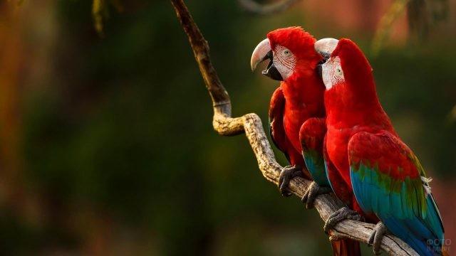 Два красных попугая ара