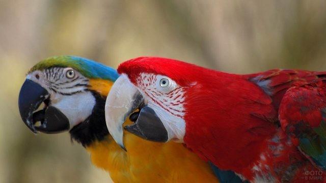 Два попугая ара с вытянутыми шеями
