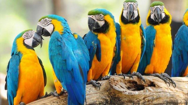 Два попугая уткнулись клювами друг в друга