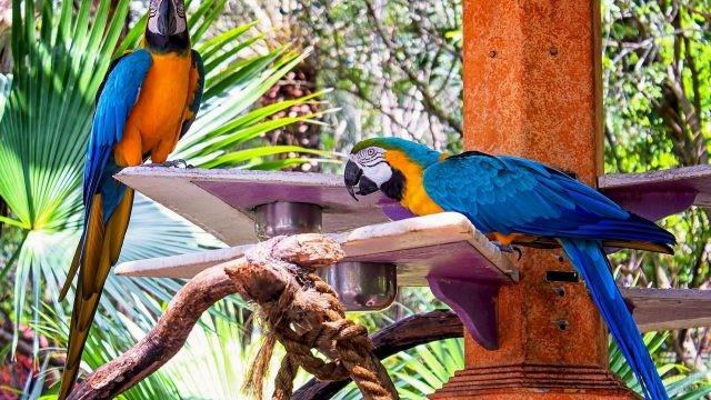 Два синих попугая ара в зоопарке