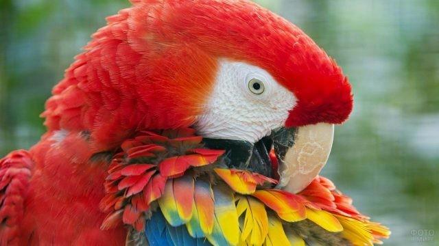 Красный попугай ара чистит пёрышки
