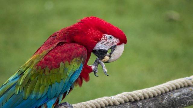 Красный попугай ара ест орех
