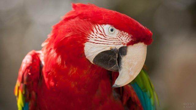 Красный попугай ара с белым клювом