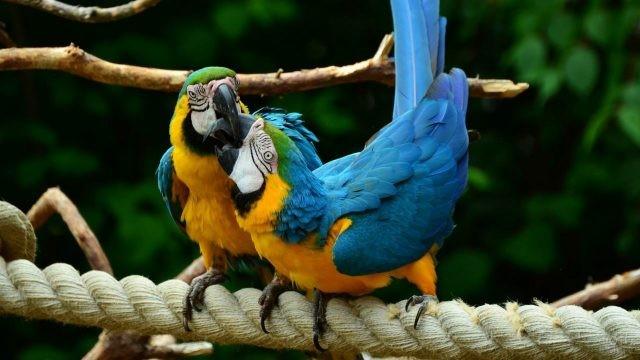 Попугаи ара чистят друг другу клювы