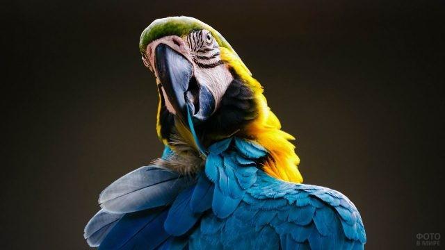 Попугайчик ара чистит свои пёрышки