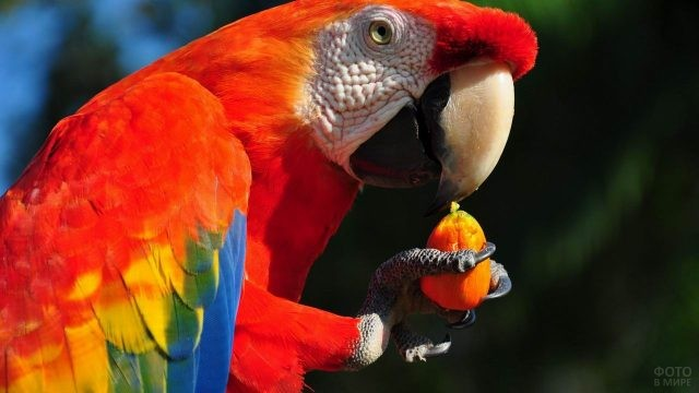 Попугайчик ара ест ягоду