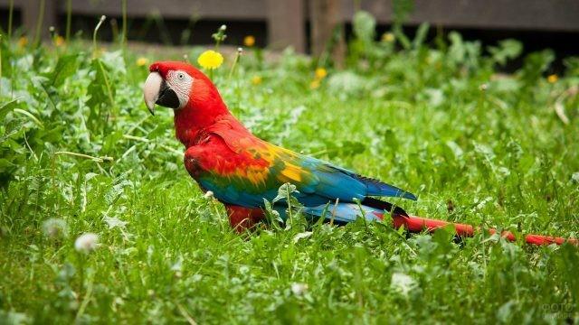 Попугайчик ара гуляет по траве