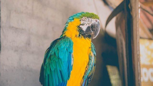 Попугайчик ара на фоне кирпичной стены