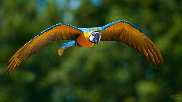 Попугайчик ара в полёте