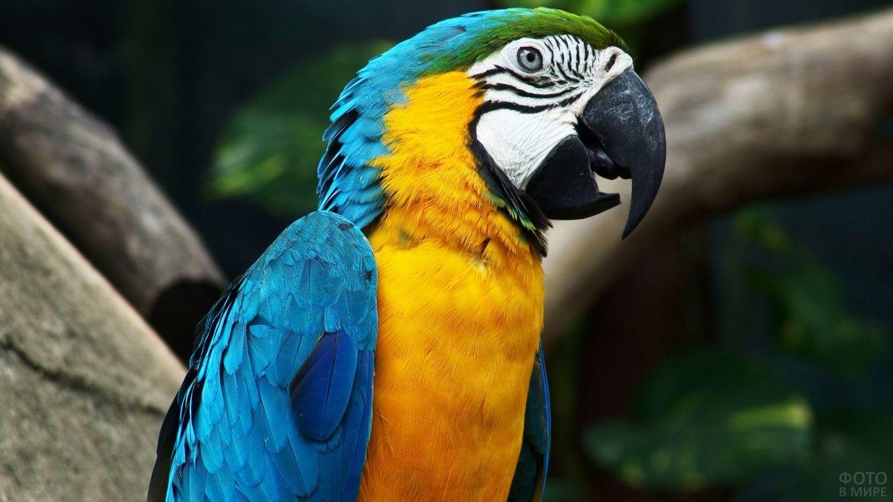 Сине-жёлтый попугай ара в профиль