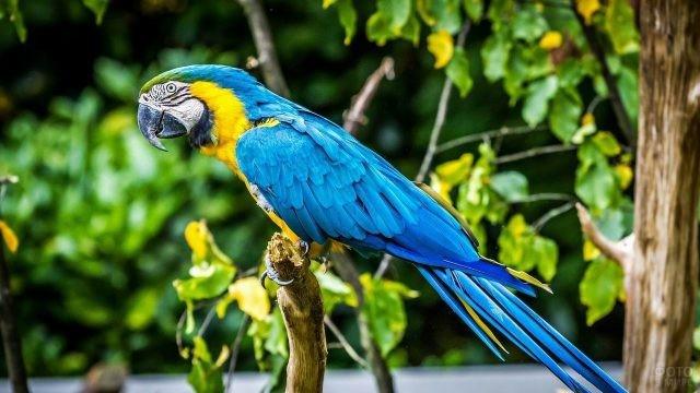Синий попугай ара сидит на ветке