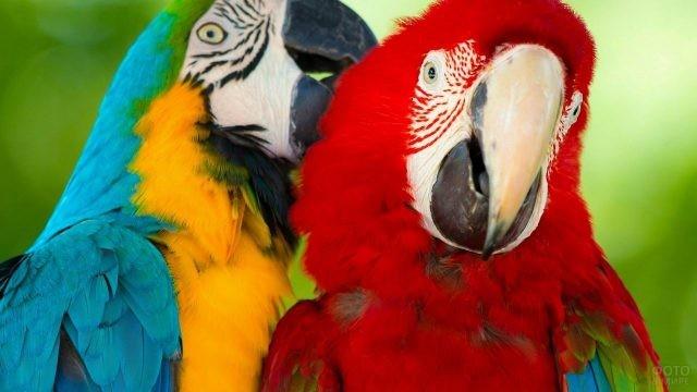 Синий попугай чистит пёрышки красному попугаю