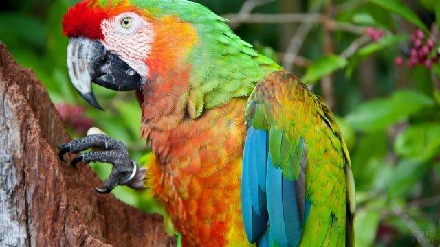 Зелёный попугай ара с кольцом на лапке