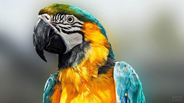 Жёлто-синий попугай ара крупным планом