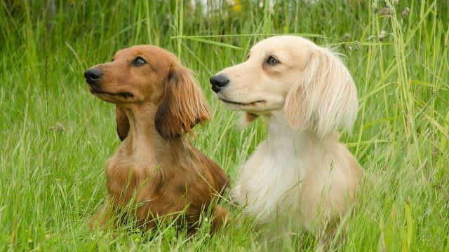 Белая и рыжая охотничьи собаки среди высокой травы