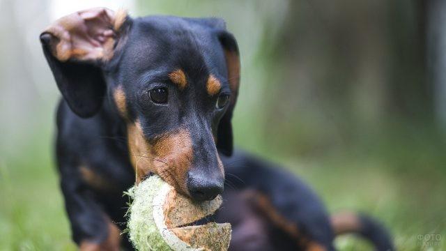 Чёрно-подпалый пёс играет на природе
