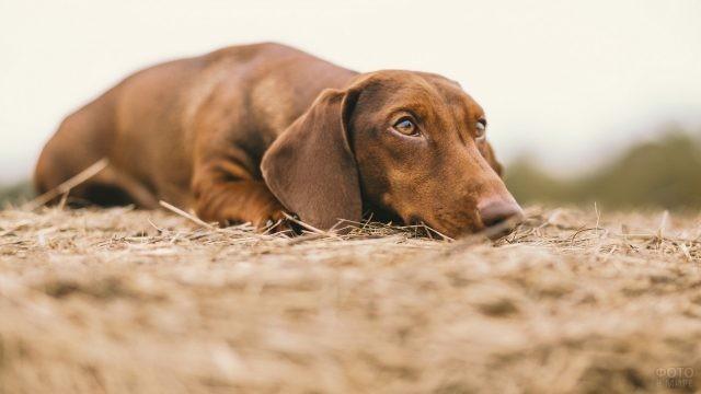 Грустная собака на соломе