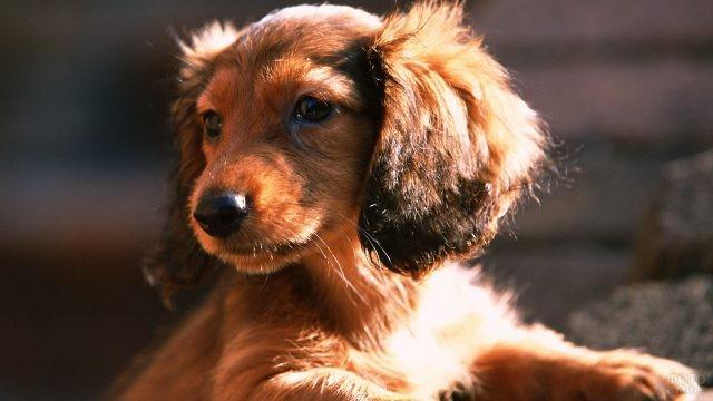 Милая собака с длинной шестью смотрит в сторону