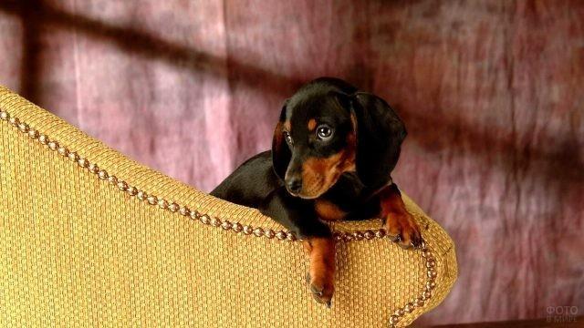 Милый щенок свесился со спинки дивана
