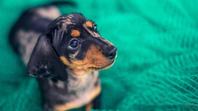 Мраморный щенок на зелёном покрывале