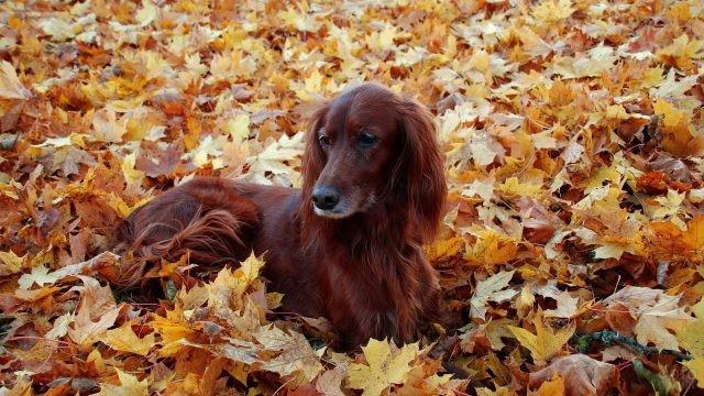 Охотничий пёс в кленовых листьях