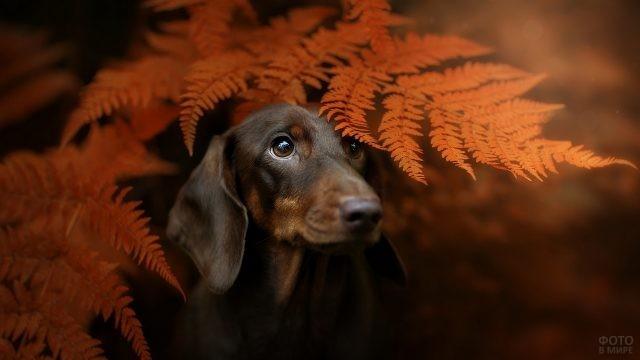 Осторожный пёс выглядывает из-под папоротника