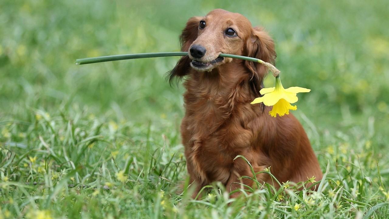 Послушная собака держит в зубах жёлтый цветок