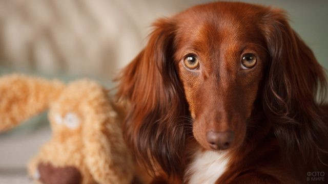 Рыжая длинношёрстная собака смотрит виновато