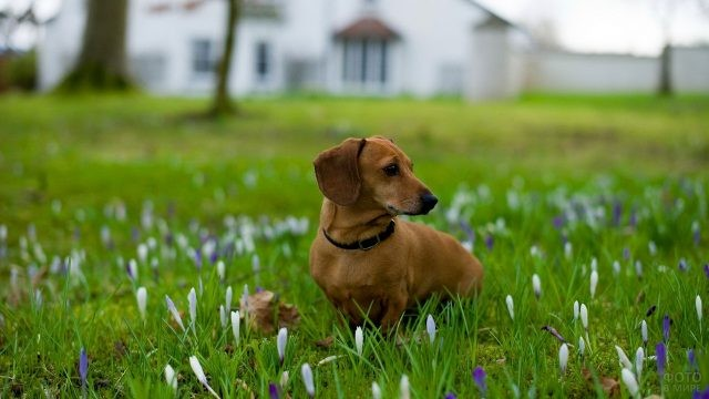 Рыжий пёс во дворе на цветочном газоне у дома