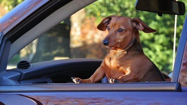 Собака на пассажирском сидении смотрит в окно автомобиля