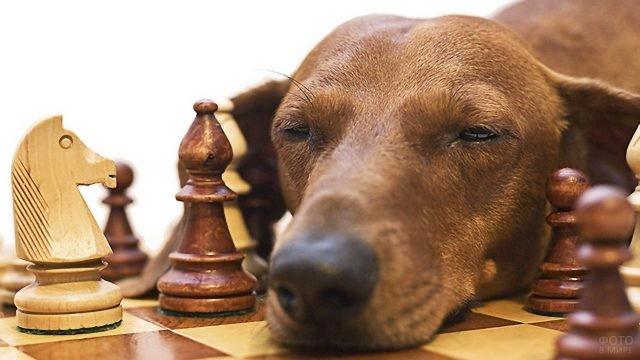 Спящий пёс на шахматной доске среди фигур