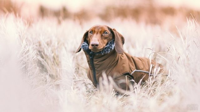 Утеплённая курткой собака в поле сухой травы