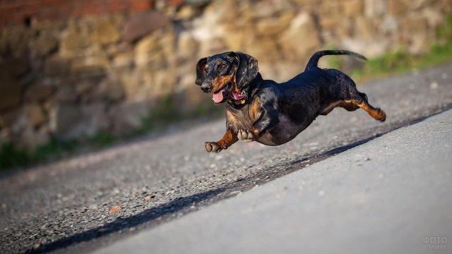 Забавная собака в прыжке на дороге