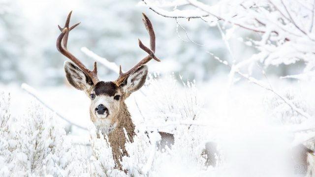 Дикий зверь выглядывает из-за снежной травы