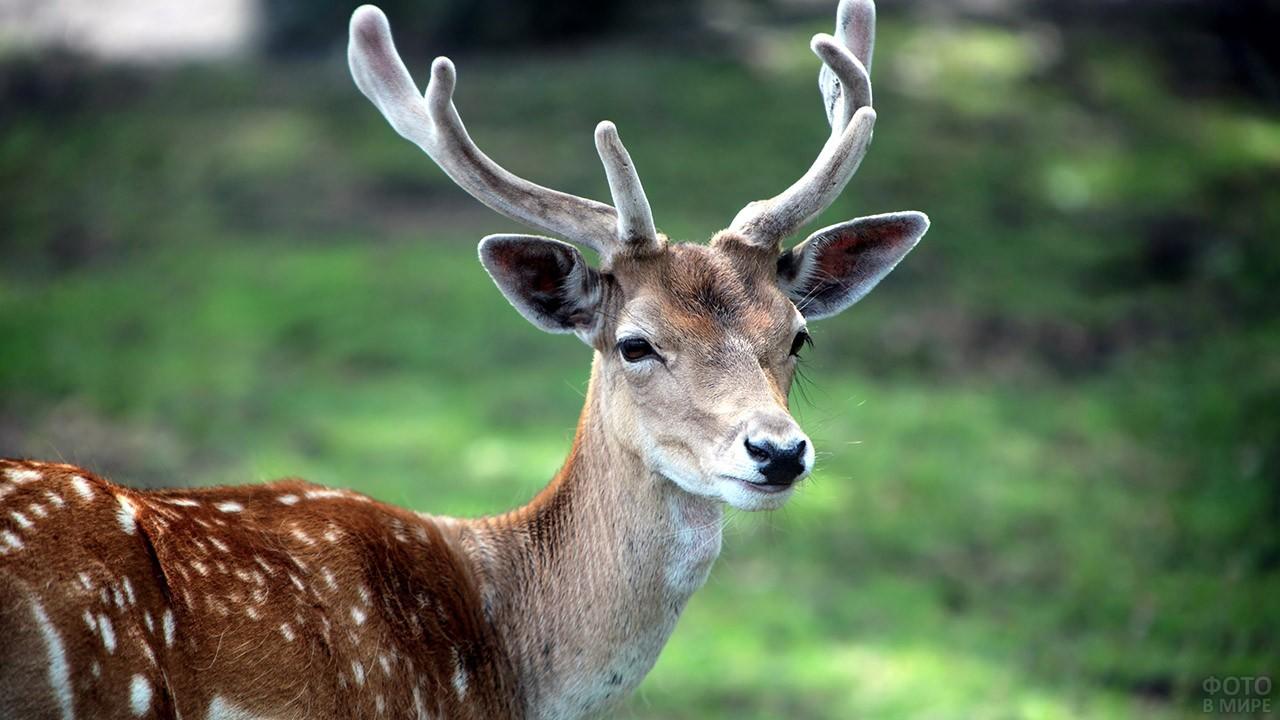 Голова пятнистого оленя