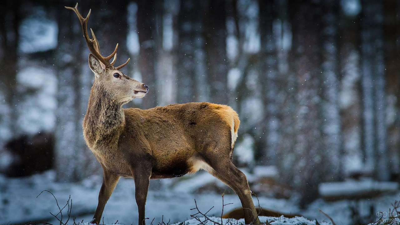 Изящный олень под первым снегом