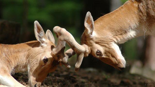 Молодые звери борются на рогах