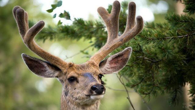 Морда оленя с лирообразными рогами