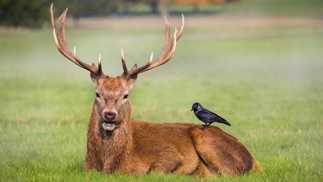 Олень и ворон в поле
