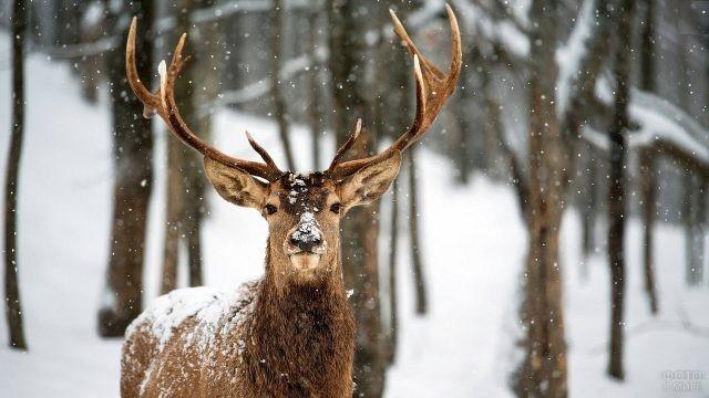 Олень-лира припорошен снегом в зимнем лесу