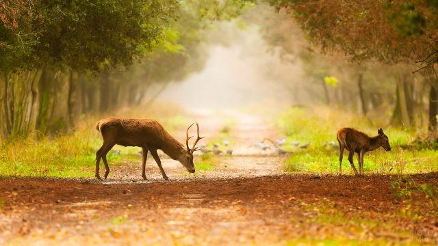 Парнокопытная семья гуляет по лесной тропе
