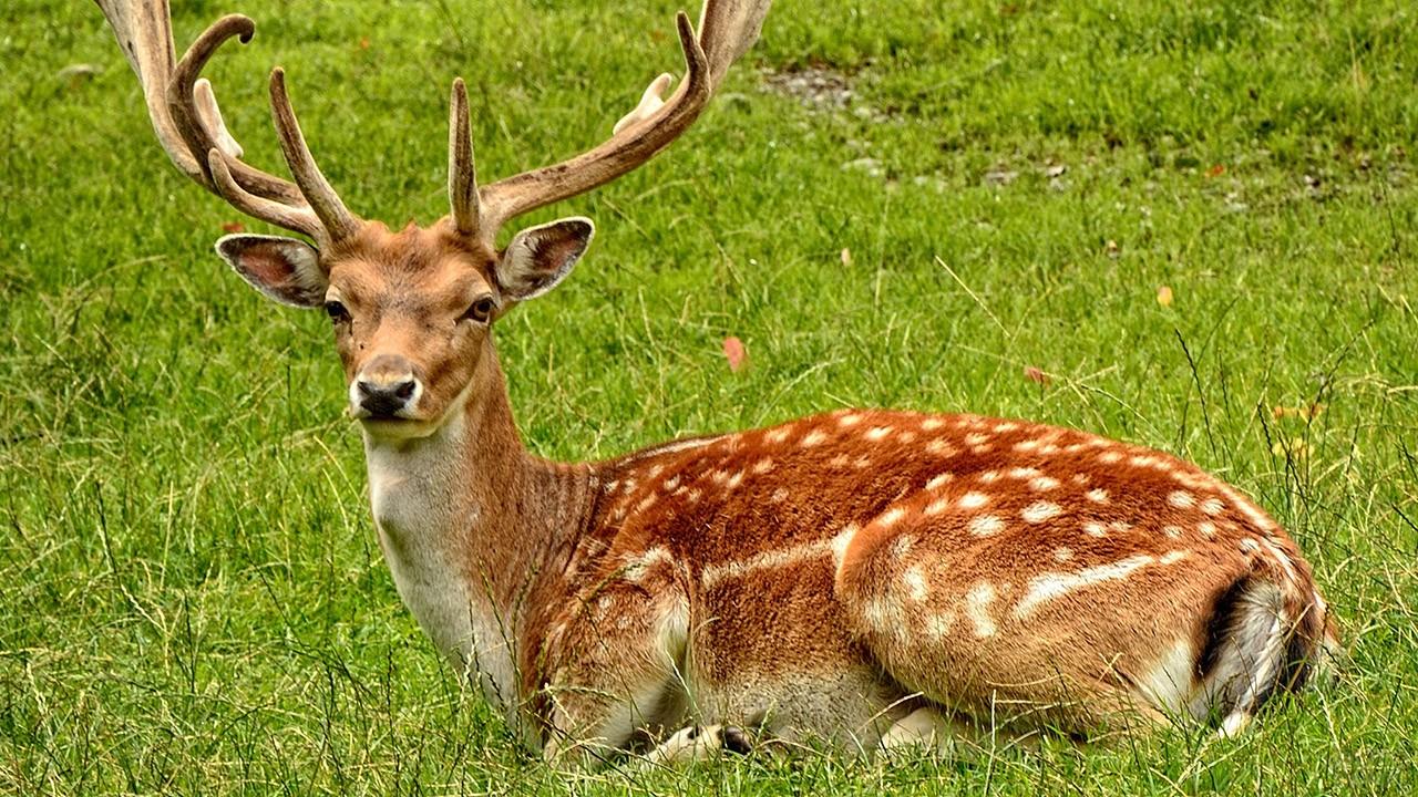 Пятнистый олень лежит на лужайке