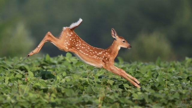 Прыжок оленёнка в густую зелень