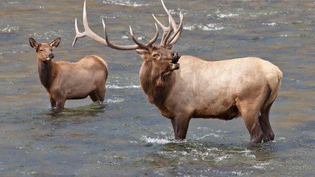 Ревущий самец с самкой в бурной реке