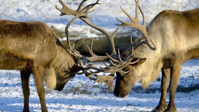 Северные парнокопытные дерутся ветвистыми рогами на снегу