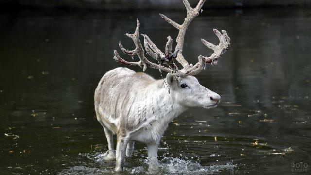 Северный олень белого цвета в водоёме