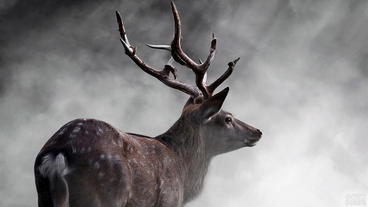 Северный олень в тумане