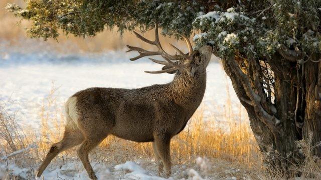 Северный парнокопытный зверь ест кору дерева