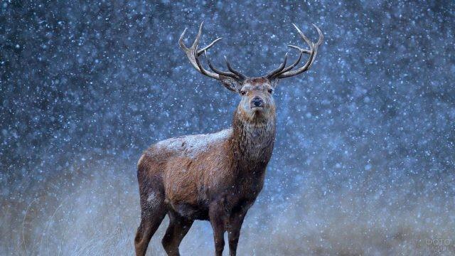 Взрослый олень во время снегопада